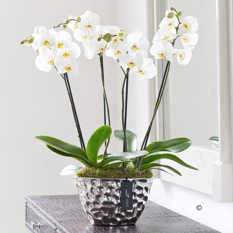 Phalaenopsis Planter